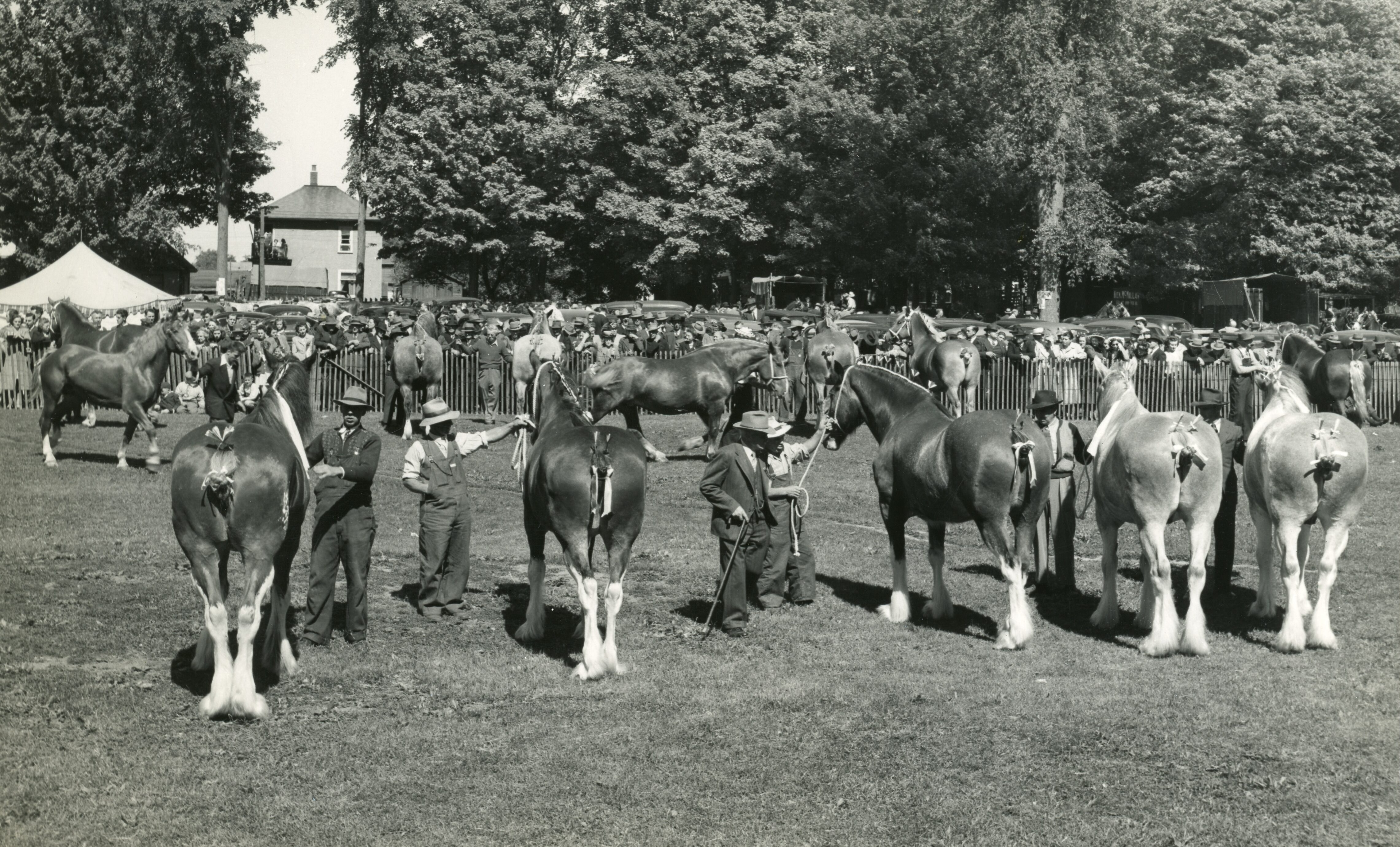 A black and white photograph of show horses facing away, with tails tied up, being handled in a treed park.